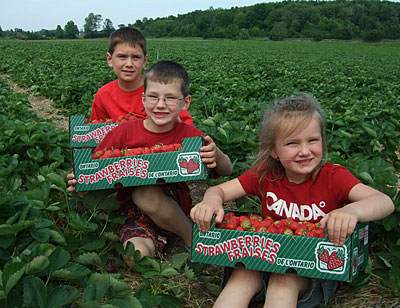 Pick your own strawberries at Downey's Farm, Caledon, Ontario west of Toronto.