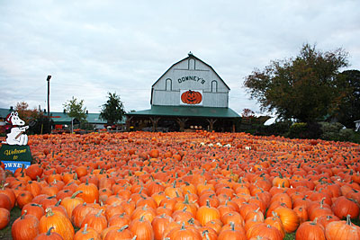 Find the perfect pumpkin at Downey's Farm in Caledon, Ontario.