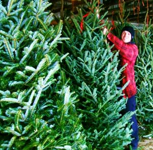 Fresh Christmas Trees at Downey's Farm Market in Caledon, Ontario near Toronto